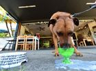 The Velo Project Cafe in Mooloolaba has a special dog menu. 5-year-old Everest enjoying his Poochy Latte. Photo: Che Chapman / Sunshine Coast Daily