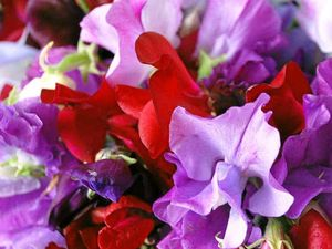 Gardening: Welcome, autumn and hello, sweet pea