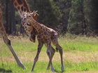 A newborn giraffe takes its first steps at Western Plains Zoo, Dubbo.