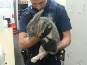 Rabbit owners try to convince police it's a guinea pig