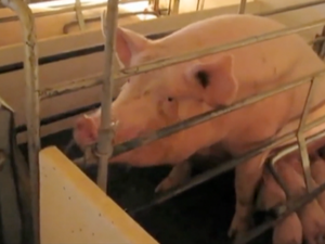 Warning: Graphic content. Pigs in Factory Farms in USA