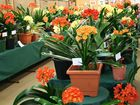 The Toowoomba Clivia Society Inc invites you to the 2016 Clivia Show to be held at the TAFE Horticultural Pavilion during Carnival of Flowers week. FREE ENTRY