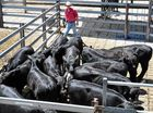 Store cattle sales top $1.5 million each