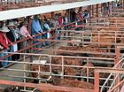 SALE ACTION: The buyers kept up the bidding through the lines of Santa Gertrudis commercial cattle at Friday's sale. Photo Toni Somes / Warwick Daily News