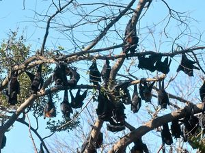 LETTER: Flying foxes