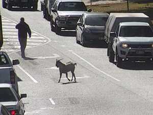 Goat on the run