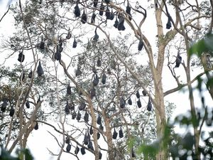 Council will attempt to move the bat colony off Tepequar Drive in Maroochydore.