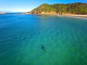 A picture of a shark at Broken Head, taken by professional drone pilot Saul Goodwin last year. Photo: saul@psphoto.com.au
