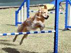 Dog obedience agility trials