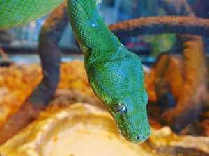 Plenty of likes for green tree snake