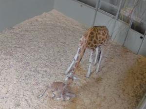 Australia Zoo welcomes baby Giraffe