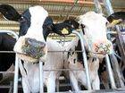 Queensland dairy industry struggling as farmers hit wall