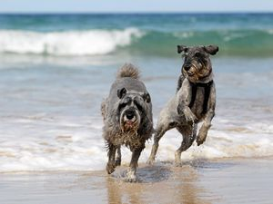 A fetching time for schnauzers