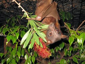 IS IT POSSIBLE? How to live alongside flying-foxes
