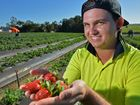 Strawberrie picker Brendan Pickett at Jedaco Berries, Bli Bli, enjoying his sweet job for the launch of a new campaign that is offering thousands of jobs for locals.