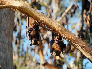 SAFETY HAZARD: Bats roosting at Gaeta have destroyed trees and driven other native wildlife away, residents say.