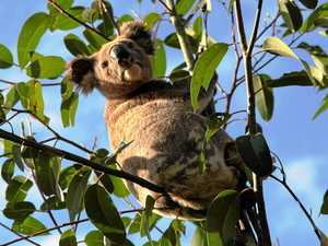 Habitat help for Tweed Coast koalas