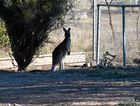 TRAPPED: The eastern grey kangaroo jumped into the high-fenced Locke St yard last Wednesday.