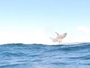 Leaping shark at Double Island could be a spinner