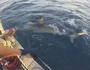 Shark hunter Joel merchant hooks a Tiger shark.