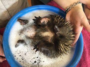 'Biddy' the echidna enjoys a bath after being found injured