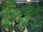 Police seized 72 cannabis plants at a Plainland property in a targeted raid on Monday.