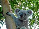 Following the death of Chris the Koala after an attack by a domestic dog another animal has been savagedly killed in Noosa Shire.