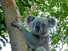 Noosa Biosphere Reserve Foundation assist with saving local koalas