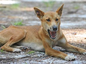 Whoever killed dingoes had 'a strong hatred'