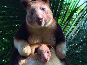 VIDEO: Tree kangaroo joey Mian wows the world