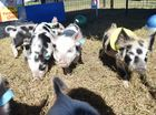 Australian miniature pigs raced their way through an obstacle course to the finish line at Show Whitsunday this afternoon.