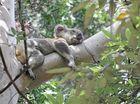 Saving our koalas given a land boost