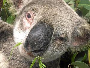Injured koala released back into wild