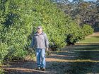 Bruce Green of Palmers Channel looks over his macadamia trees.