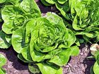 Lettuce farm contractor short-changes almost 100 overseas workers
