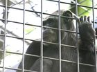 Chimpanzee breaks bullet-proof glass at the Rockhampton Zoo