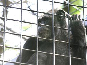 Chimpanzee breaks bullet-proof glass at the Rockhampton Zoo