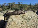 Injured fur seal Pt Cartwright