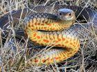 Eastern Brown Snake - Max Jackson