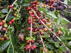 Here's something the caffeine connoisseurs might not know - Noosa has its very own coffee plantation.