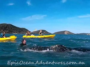 Whale 'asks' Double Island kayakers for help