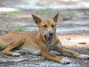 Longest living dingo found on Fraser Island