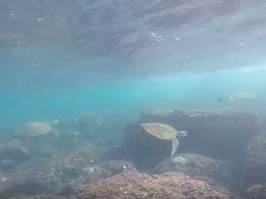 Turtles mass at Mudjimba Island.