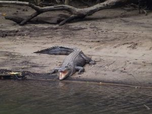 Near miss with 8 foot croc