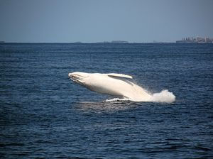 UPDATE: Celebrity white whale Migaloo in Gladstone waters