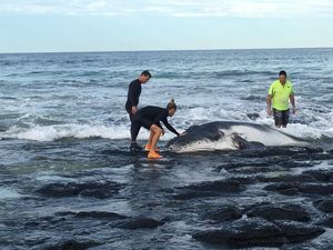 Beached baby humpback is dragged back into sea