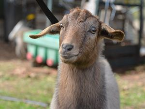 Man Vs Goat: 70-year-old in hospital after epic battle