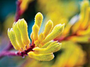 Gardening: Not many flowers say Aussie like the kangaroo paw
