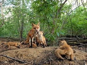 Feral fears draw action with foxes to be gassed