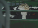 Dairy Farmers forced to Slaughter Cattle